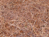 pine needles mulch