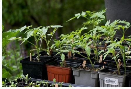 hardening-off tomatoes